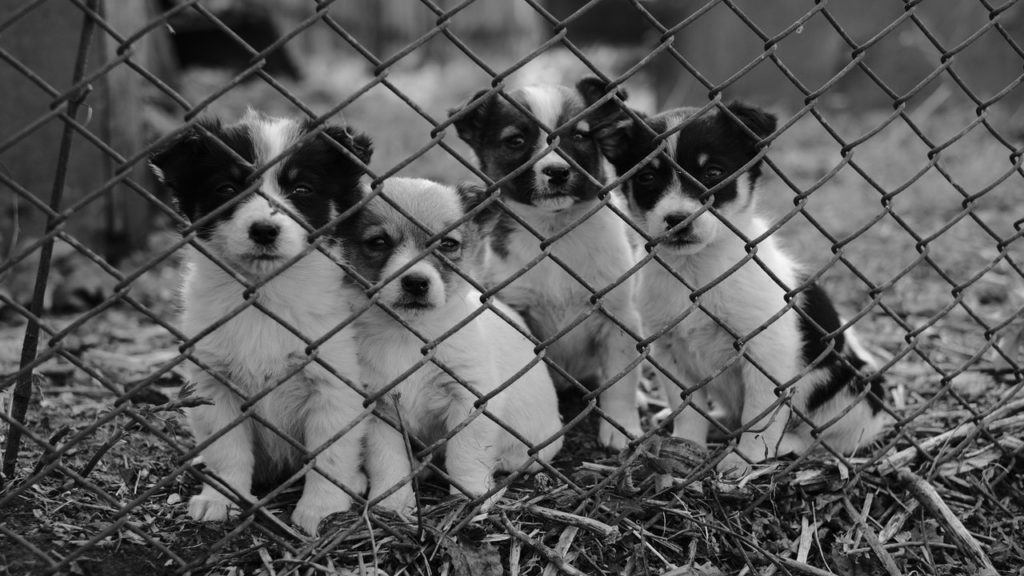 4 black & white puppies behind the fence in black & white