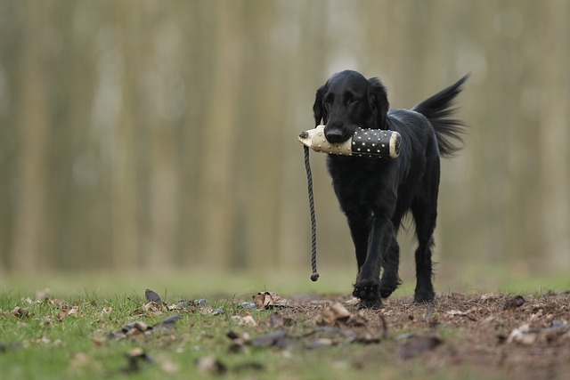black dog with a toy in its jaw