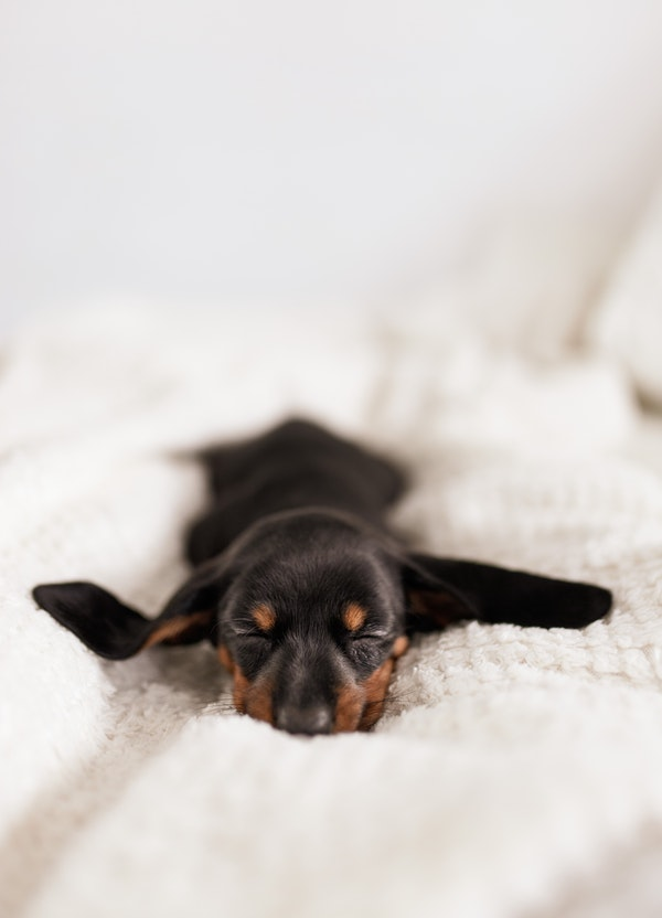 black sausage dog puppy sleeping in the bed