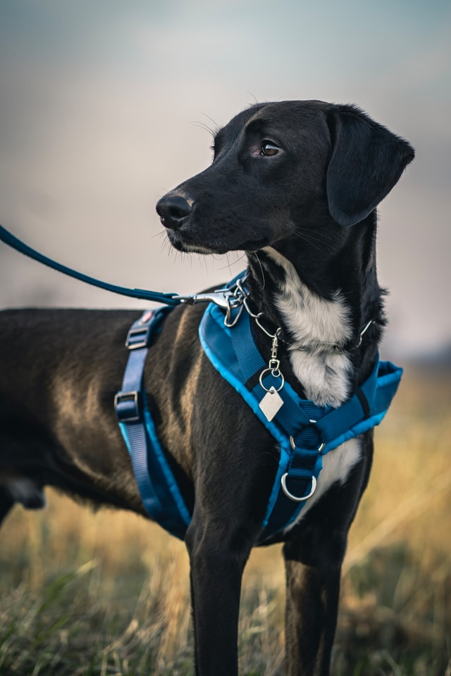 blue harness on a grown black dog