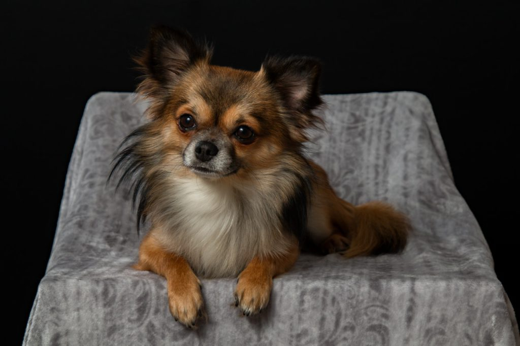 brown chihuahua sitting in a chair