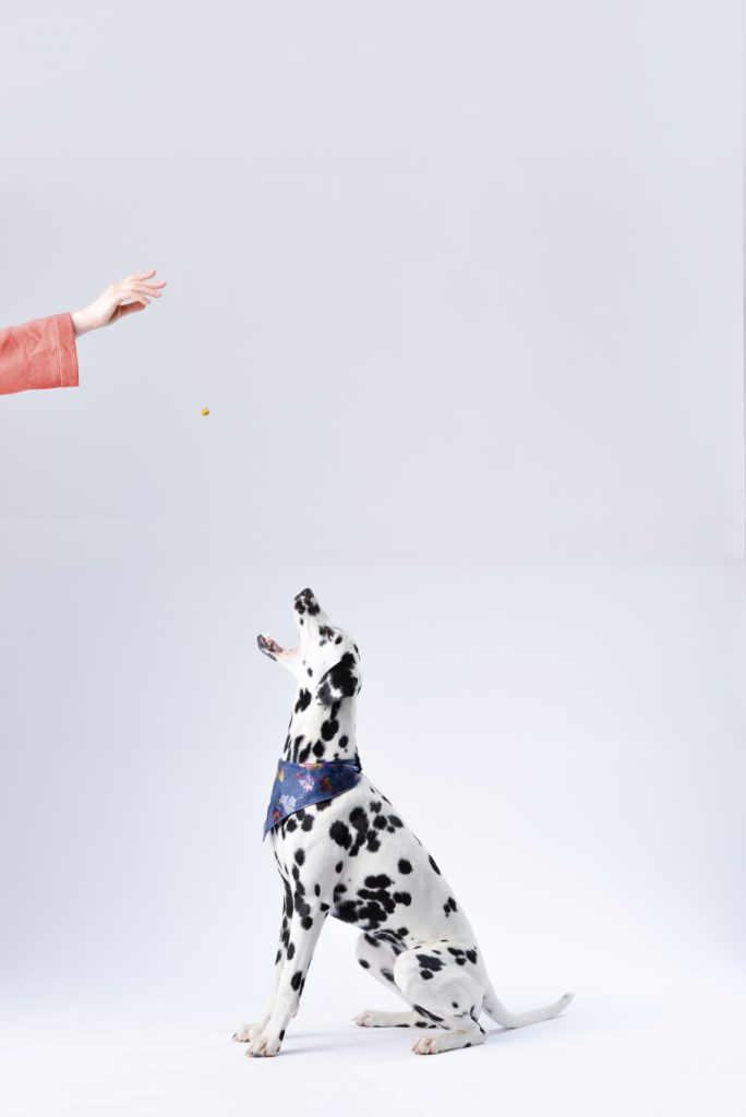 dalmatian dog sitting and expecting the food to drop into his jaw