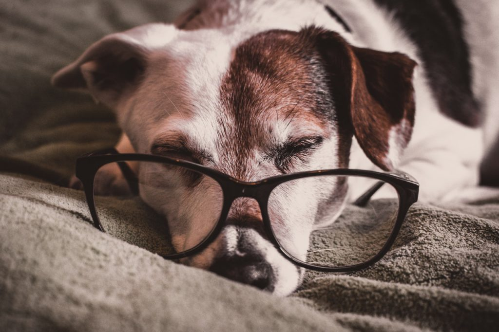 Sleeping dog with glasses Jack Russel