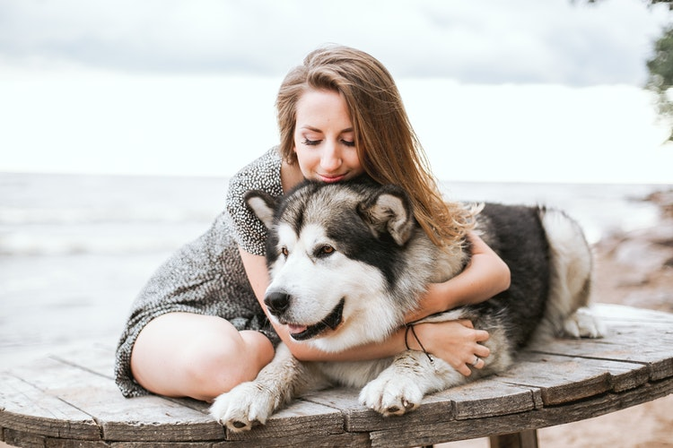Malamute big dog lying on a table with a woman