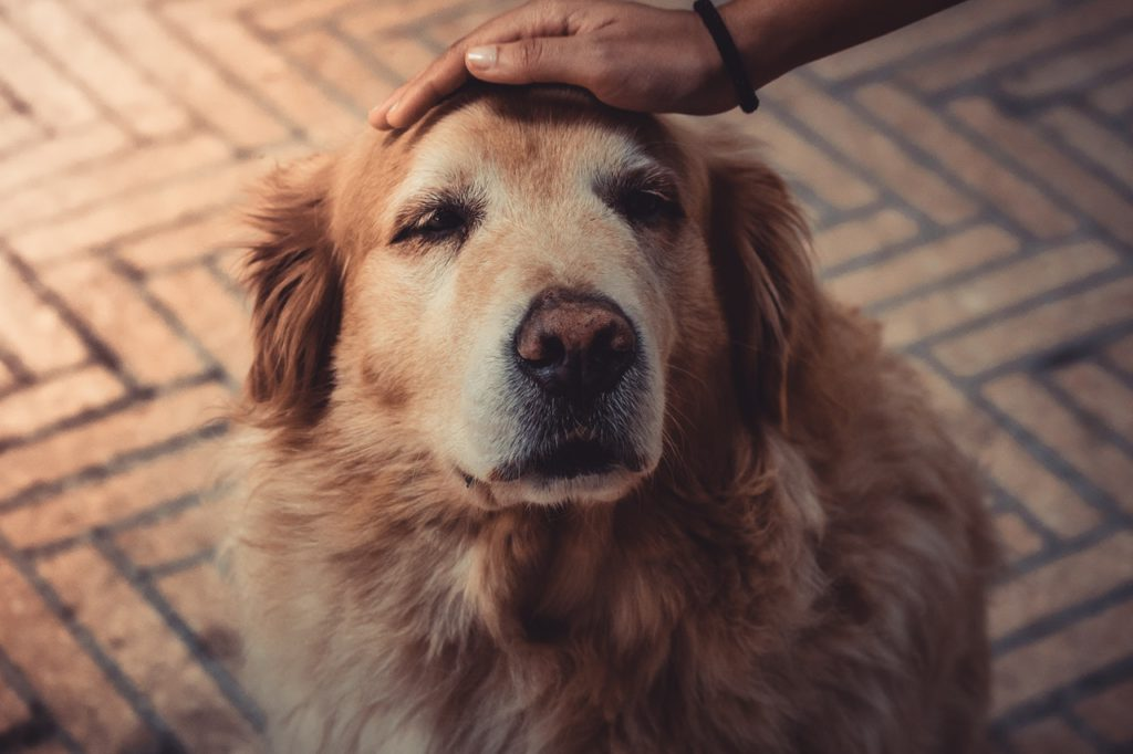 old golden retriever dog pet by a human