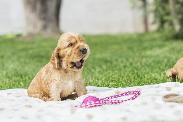 Labrador puppy yawning while sitting on a blanket in the park