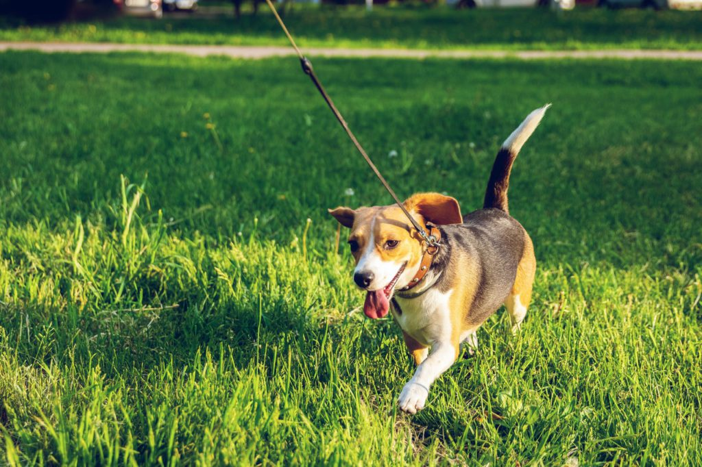running beagle dog on a leash in a park