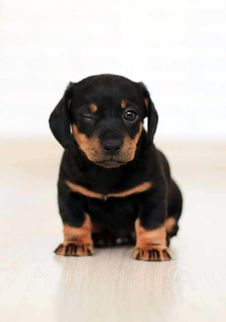 small black rottweiler puppy winking