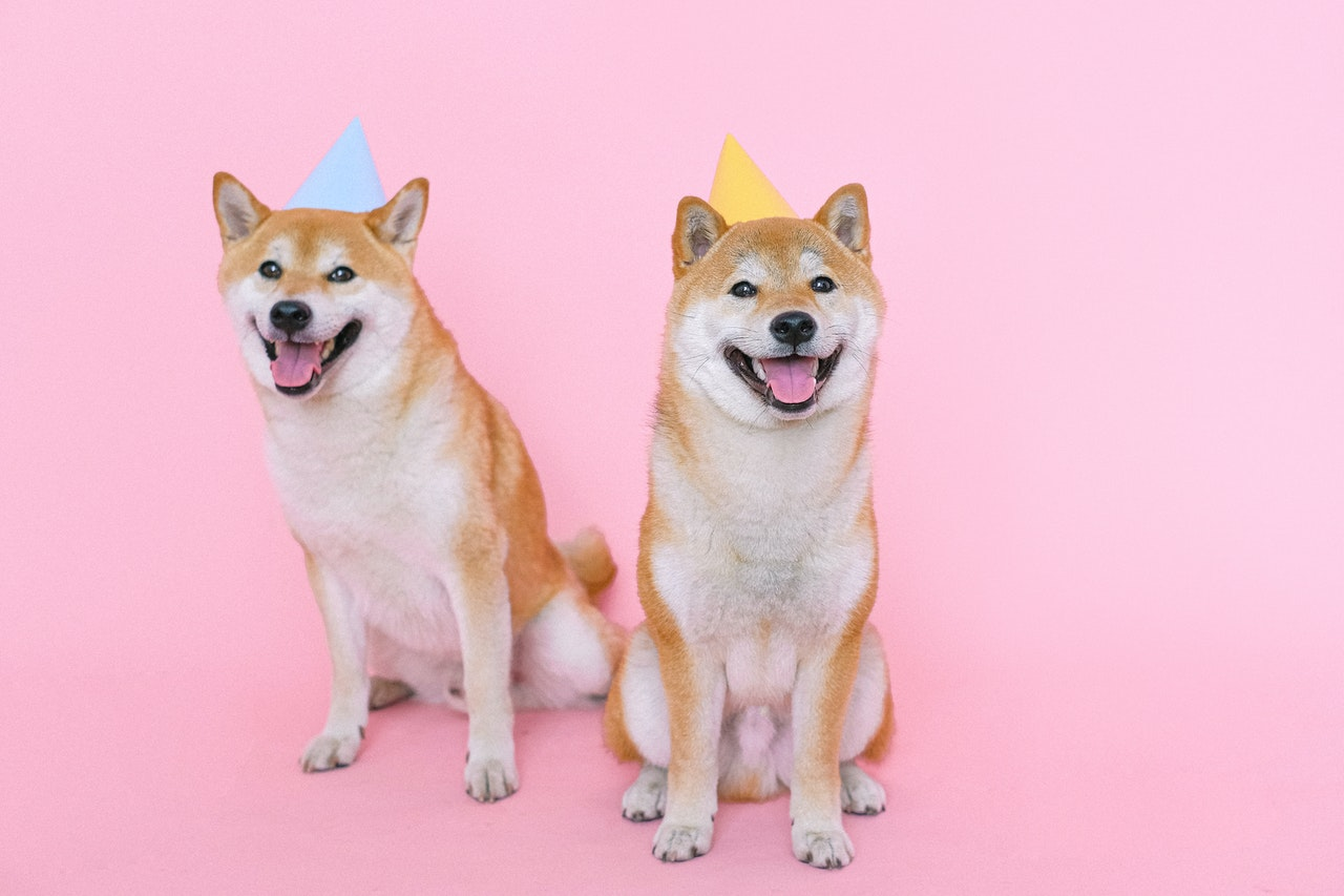 two akita dogs with hats on pink background