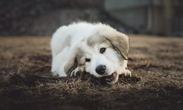 white puppy chewing on a piece of wood outdor