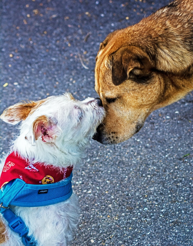 white terrier and another dog greeting